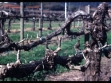 dry creek vineyard pruned_chard