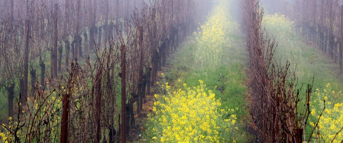 Napa Valley Vineyards Mustard plants