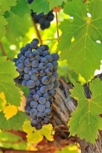 Wine Grapes Cabernet Sauvignon