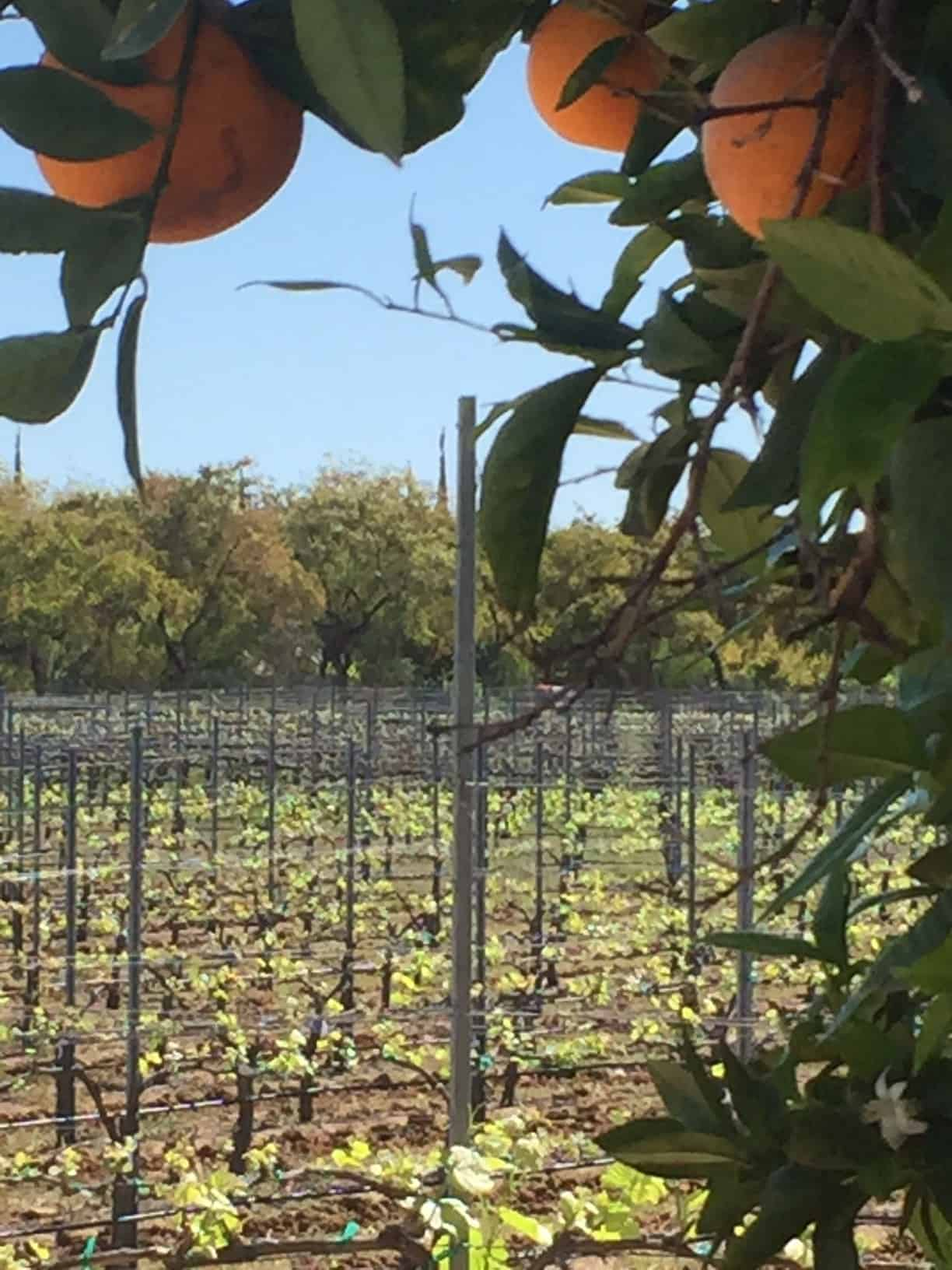 Temecula vines and oranges