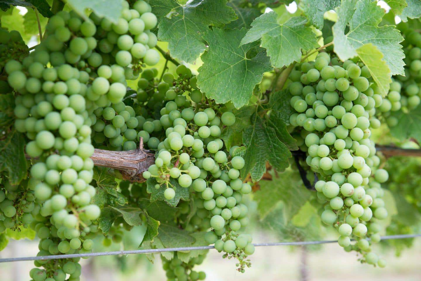 california chardonnay grapes on a vine