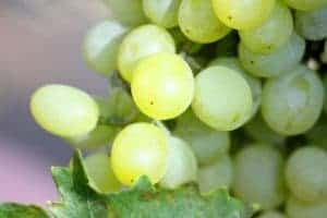 california chardonnay grapes